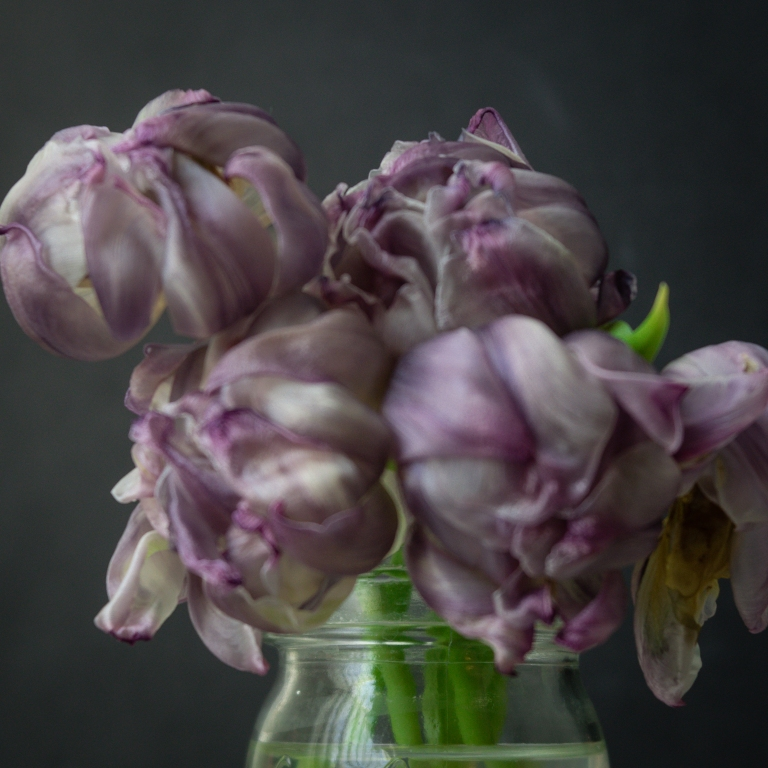 lb_purple.tulips.dark_muse10