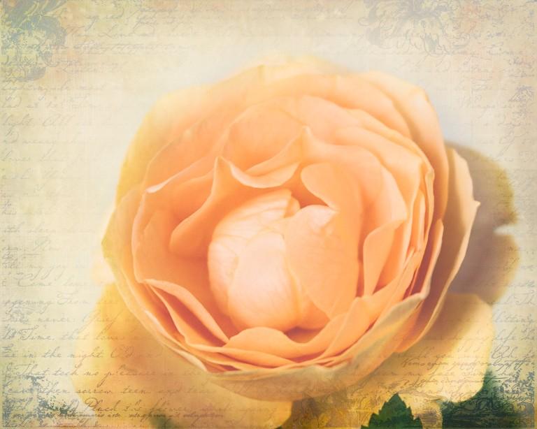 lb_crystal_peach.rose_fr.brocante