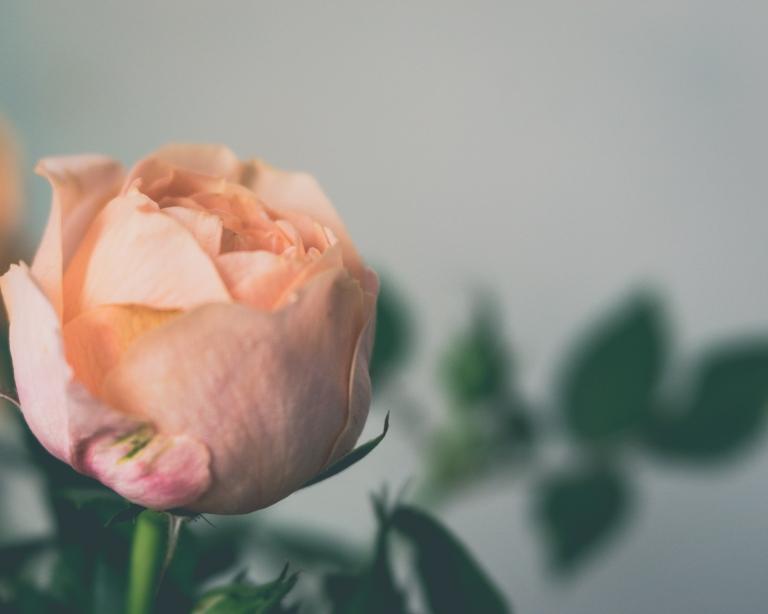 lb_peach.rose.bud_fairy1