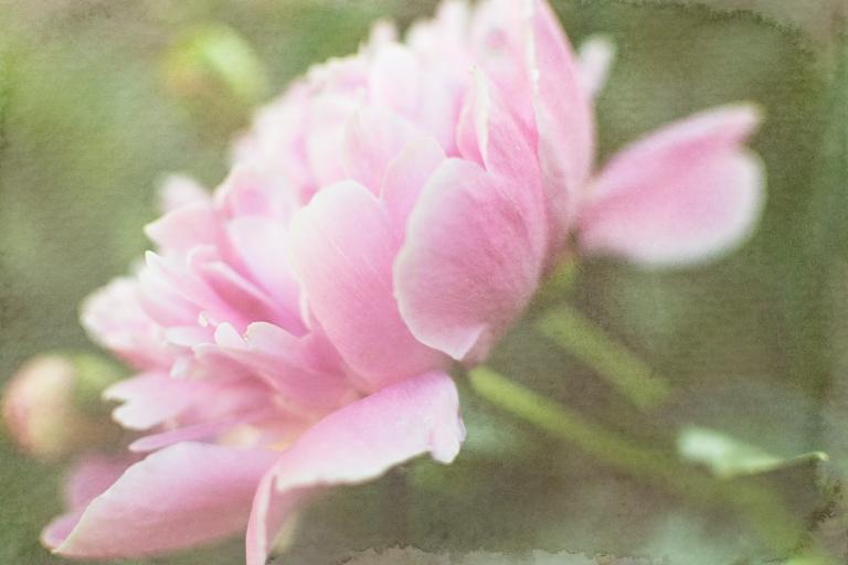 btl_crystal_peony.garden_lt,blndr_midsummer