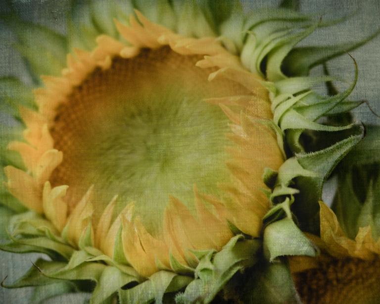 gfancy_sunflowers.macro_blue.jeans