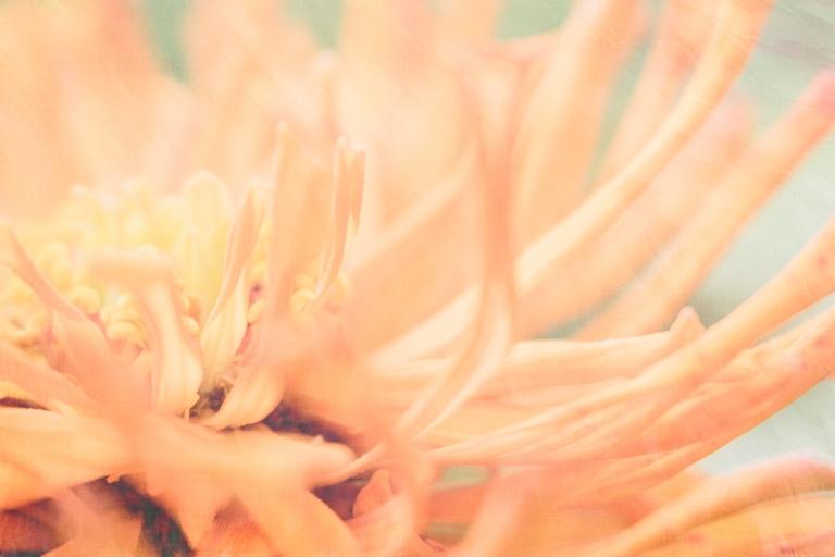 lb_crystal_zinnia.peach.macro_sp.paints