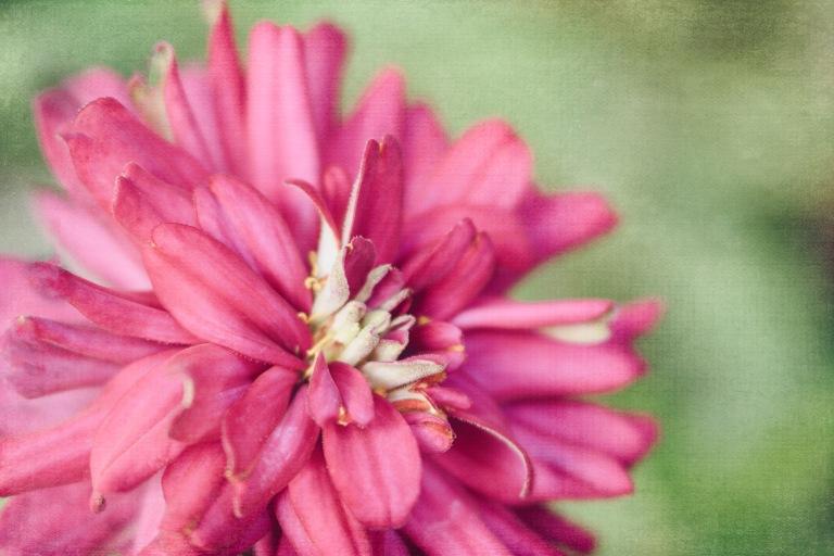 lb_crystal_zinnia.pink.bright_tiny